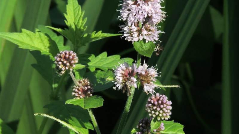 Smullen van de eetbare planten in het Ilperveld