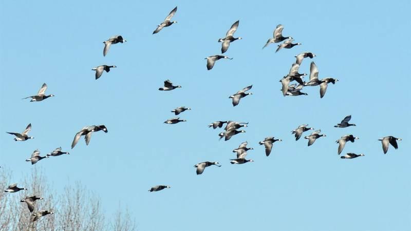 Trekvogels in volle vlucht, weg uit het Ilperveld