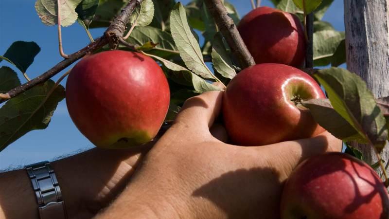 Het plukken is begonnen: vanaf vrijdag weer appeltaart uit de streek!